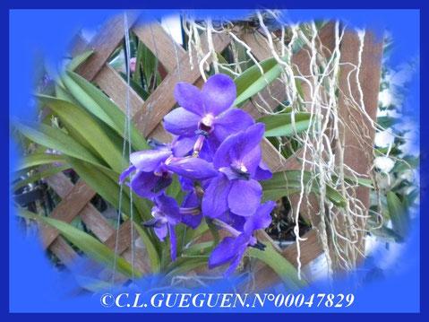 VANDA BLEUE, rare de par sa couleur, assez chère aussi, seule la qualité compte!