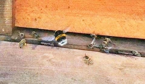 #Bombus terrestris #Erdhummel #Bienenvolk #Flugloch #Fluglochwächter #Bienenstock #Flugbrett