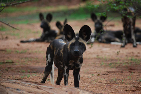 Afrikanische Wildhunde Mkomazi Nationalpark