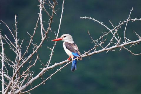 Vögel im Mkomazi Nationalpark