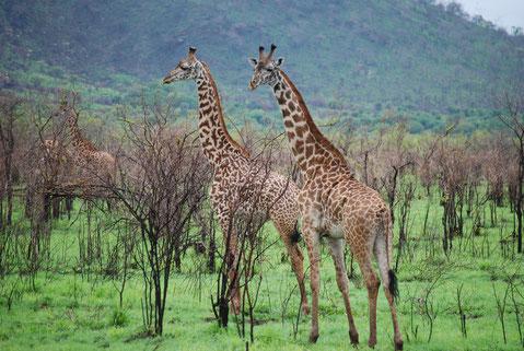 Tiere Mkomazi Nationalpark