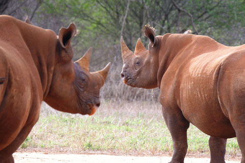 Spitzmaulnashörner im Mkomazi Nationalpark