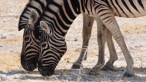 Zèbres de Burchell ; Etosha ; Namibie. Culture Maxime Lelièvre