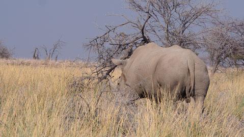 Rhinocéros blanc ; Etosha ; Namibie. Culture Maxime Lelièvre