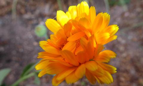 Ringelblume, Heilpflanze des Jahres 2009, calendula officinalis, Wetterblume