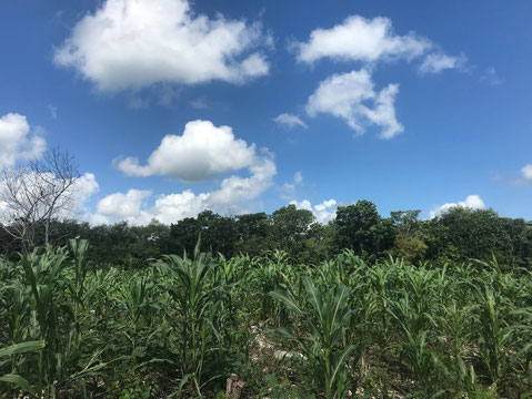 Photo 6: Corn shoots at a Mayan Milpa in Ek Balam in the beginning of July (Samuel Jouault, 2020)