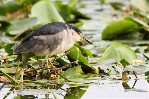 20 juillet au 22 juillet  2011  Lot et Garonne  Réserve Naturelle de la Mazière     Partie 2 :   Bihoreau gris (Nycticorax nycticorax) ©JLS