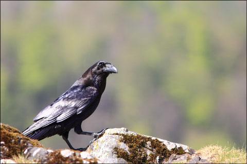 Mardi 19 avril 2011   Vallée d' Aspe - 64     Grands Corbeaux  (Corvus corax)  Vautours fauves  (Gyps fulvus) ©JLS