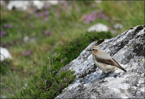 Traquet motteux (Oenanthe oenanthe) © JlS