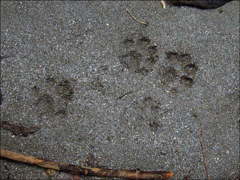 Mercredi 19 décembre 2012  Gave d'Ossau - 64     Loutre d'Europe  (Lutra lutra)   Chat forestier  (Felis silvetris) ©JLS