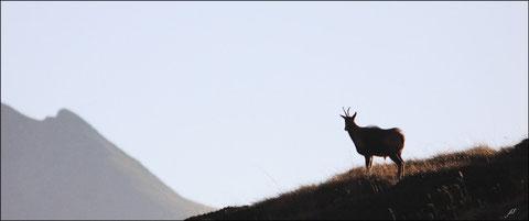 Octobre 2011  Vallée d'Ossau - 64   Isards  (Rupicapra pyrenaica) ©JLS