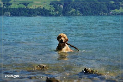 ... und wieder entsteigt er tropfnass dem See ;-) - Happy, seinen Knebel erwischt zu haben ;-)