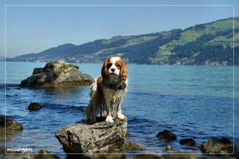 Derweil inspiziert Charly alles aus sicherer Distanz - apportieren, ja gerne, aber sicher nicht aus dem Wasser. Bin ja schliesslich ein Cavalier - sobald meine Ohrenspitzen nass sind reicht's!