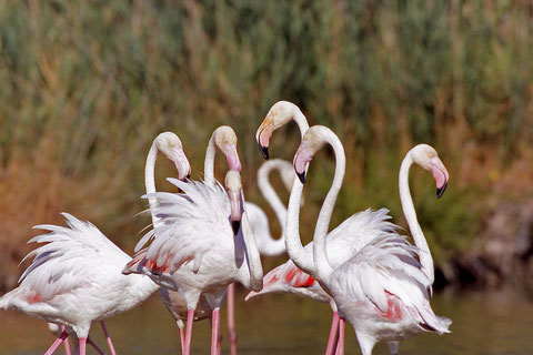 les flamants-roses