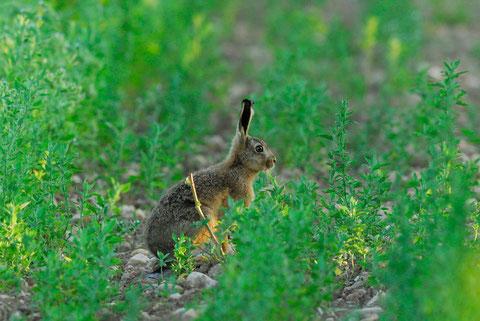 jeune lièvre au printemps