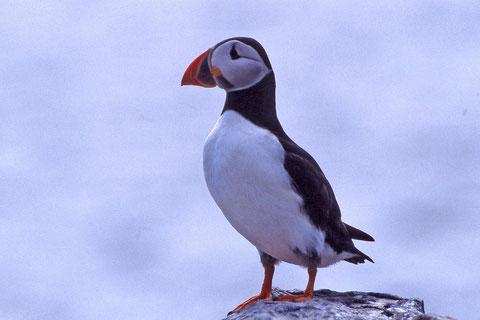 le macareux moine est surnommé le perroquet des mers