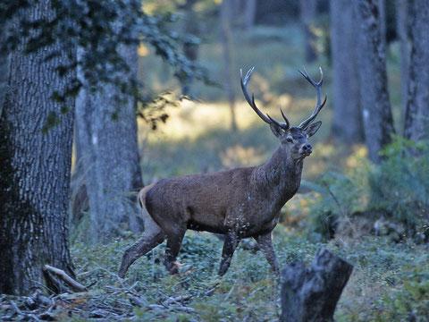 le poids d'un cerf adulte peut dépasser 200kg