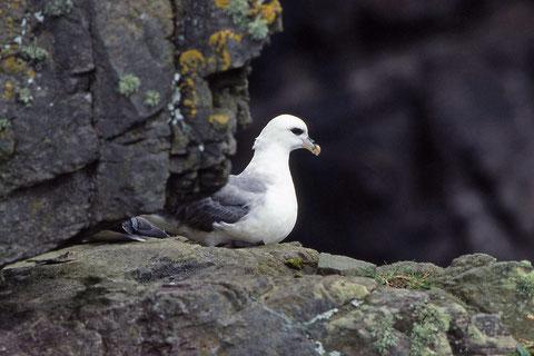 le fulmar boréhal est très fréquent sur les falaises (ile de Handa-Island)