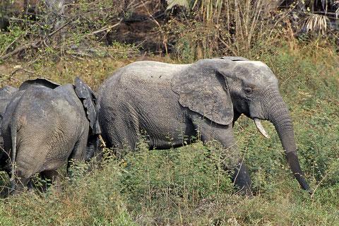 troupeau d'éléphants rencontrés dans la brousse