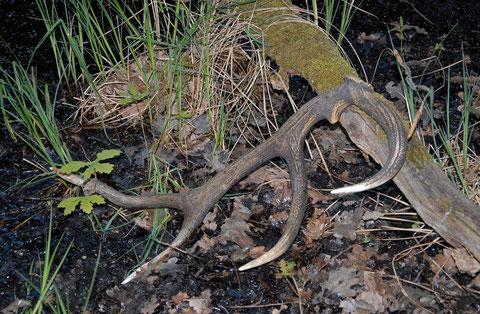 mue de cerf trouvé dans une queue d'étang en brenne