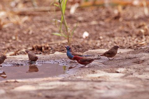 oiseau mange-mil