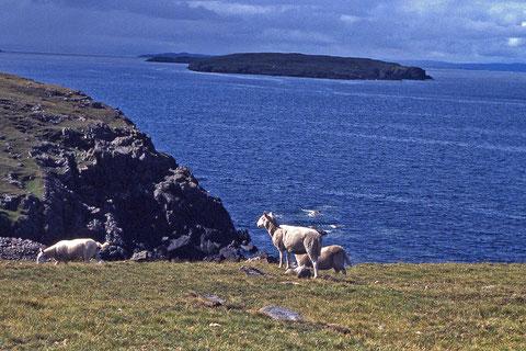 moutons  en bord de mer