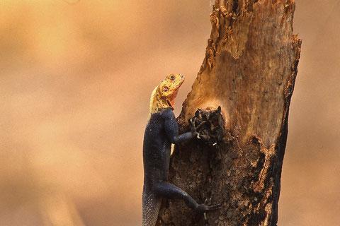 margouilla  mâle