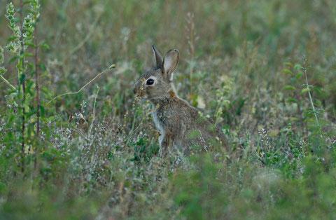 attitude  typique de lapin de garenne