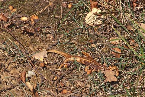 mue de chevreuil, les premiers bois tombent à partir du 15 octobre