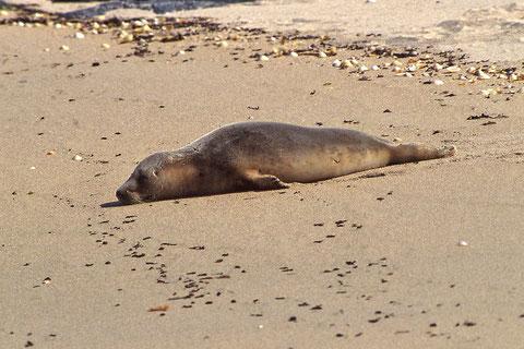 jeune phoque endormi sur un banc de sable