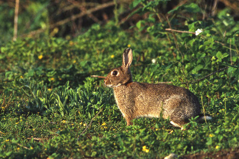 le lapin de garenne a disparu de certaines régions à cause du virus de la myxomatose