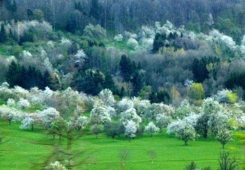 Obstblüte am Fuß der Albstufe (aus dem fahrenden Auto)