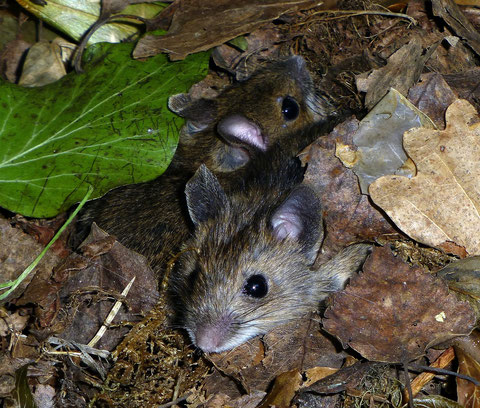 Echt putzig, dürften Waldmäuse sein... aber wahrscheinlich ein Foto, das auch manche zum leichten Gruseln bringen könnte...   :-)