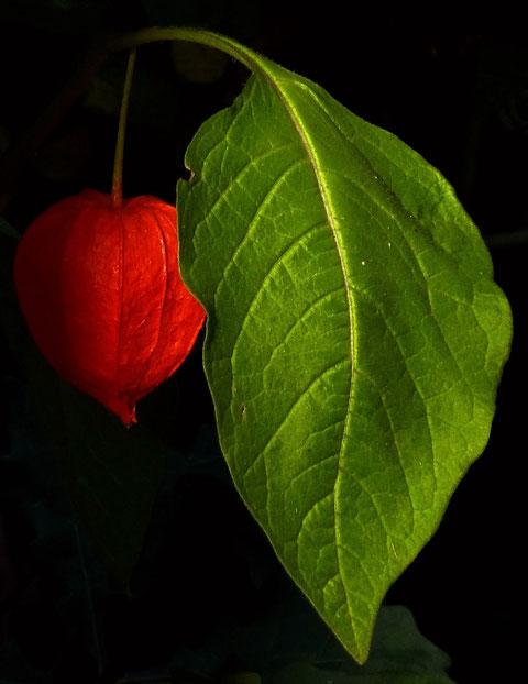 Physalis / Lampionblume im Abendlicht (Tele Makro, Belichtung ebenfalls Spotmessung)