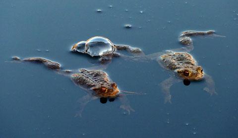 Erdkröten im letzten Sonnenlicht