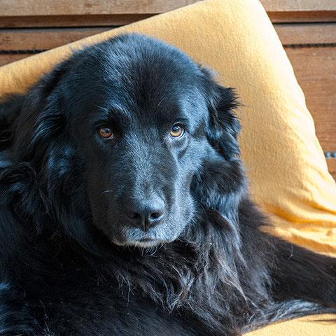 Unser Neufundländer Holzhund Wilma