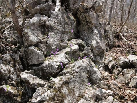 イワザクラの咲く岩場