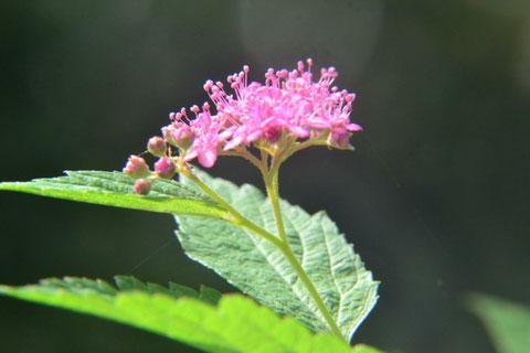 山頂にシモツケが最後の花が