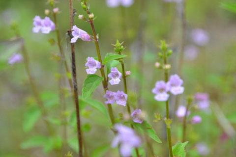 イヌコウジュ・・・草丈10~50cmぐらいの一年草                    いっぱい密集して咲いている姿、かわいい女の子が集団登校しているみたい