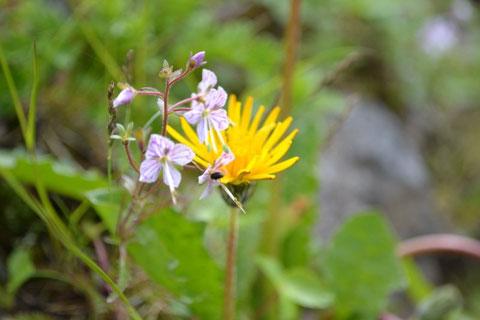 ミヤマクワガタも今回のコースで見られる花。うまく表現出来ませんが好きな花です。