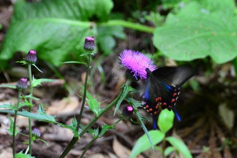 アザミの蜜を吸うアゲハ蝶