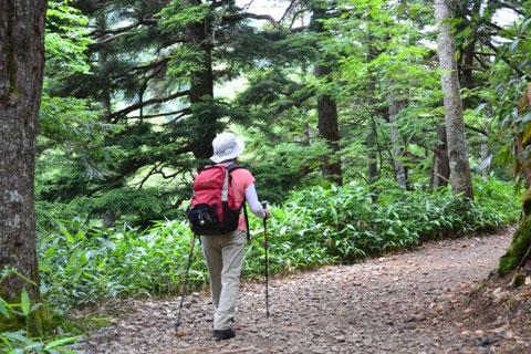 針葉樹林の中をゆるやかに登っていきます