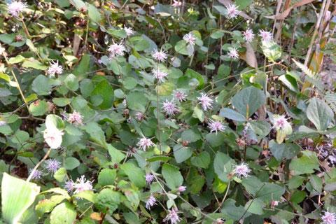 株元から細い枝を放射状にたくさん出す。その枝先にハグマ形の花を咲かす。