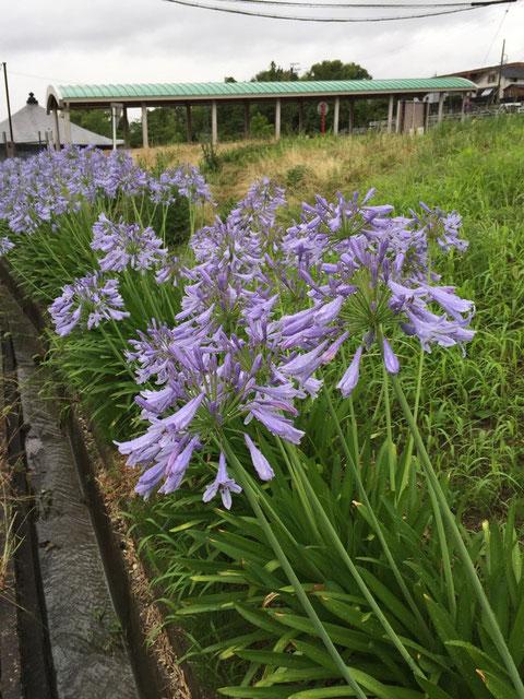 名鉄瀬戸線の印場駅の北口にアガパンサスが沢山咲いています