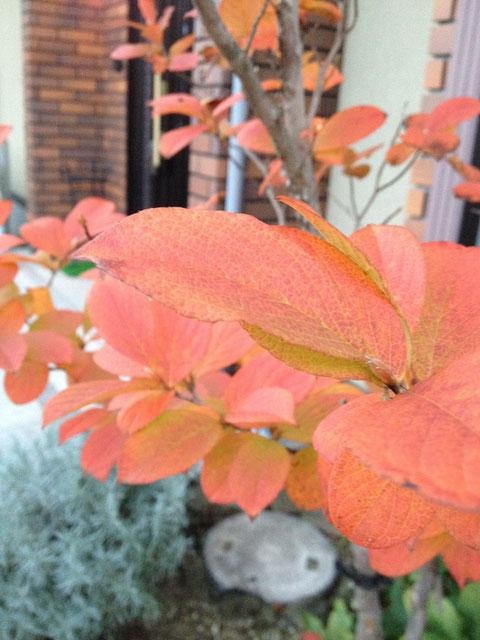 紅葉の素晴らしい植木5位 ヒメシャラ