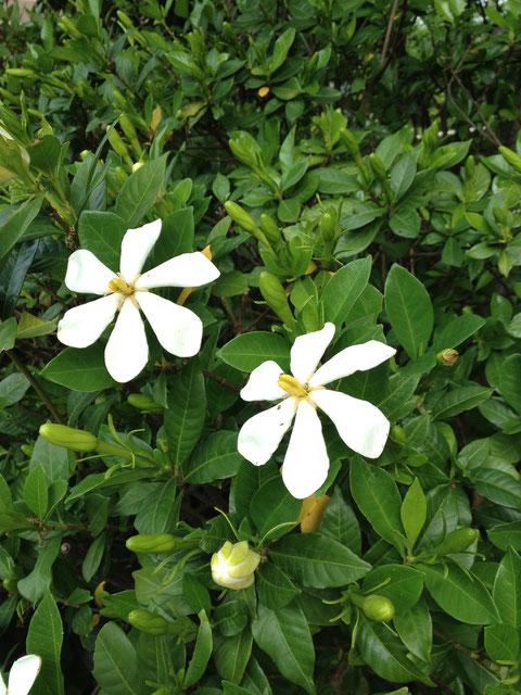クチナシ 香りのする花を咲かせる植物の王様