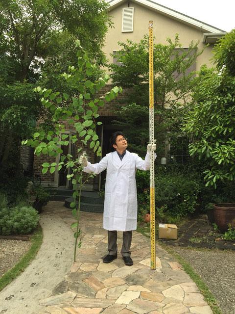 この春からグングン伸びて3mくらいになっていた植物 本当にかぶれるのか?