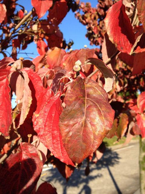 ハナミズキの葉 紅葉が美しい