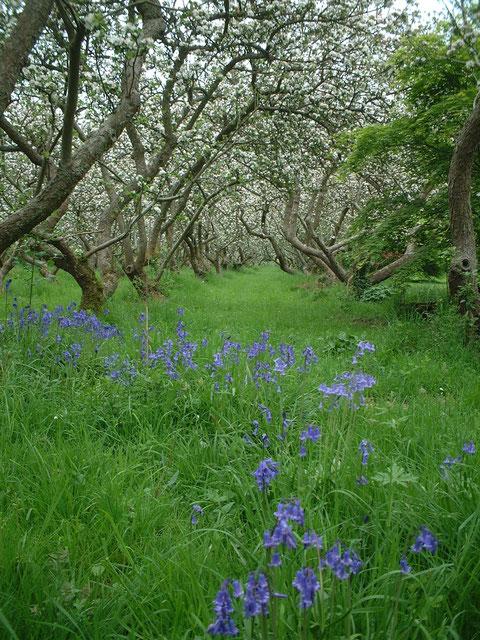 イギリスの春の植物の代表の一つがブルーベルフラワー