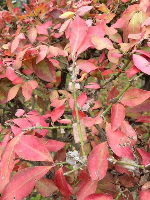 紅葉の素晴らしい植木四位 ニシキギ